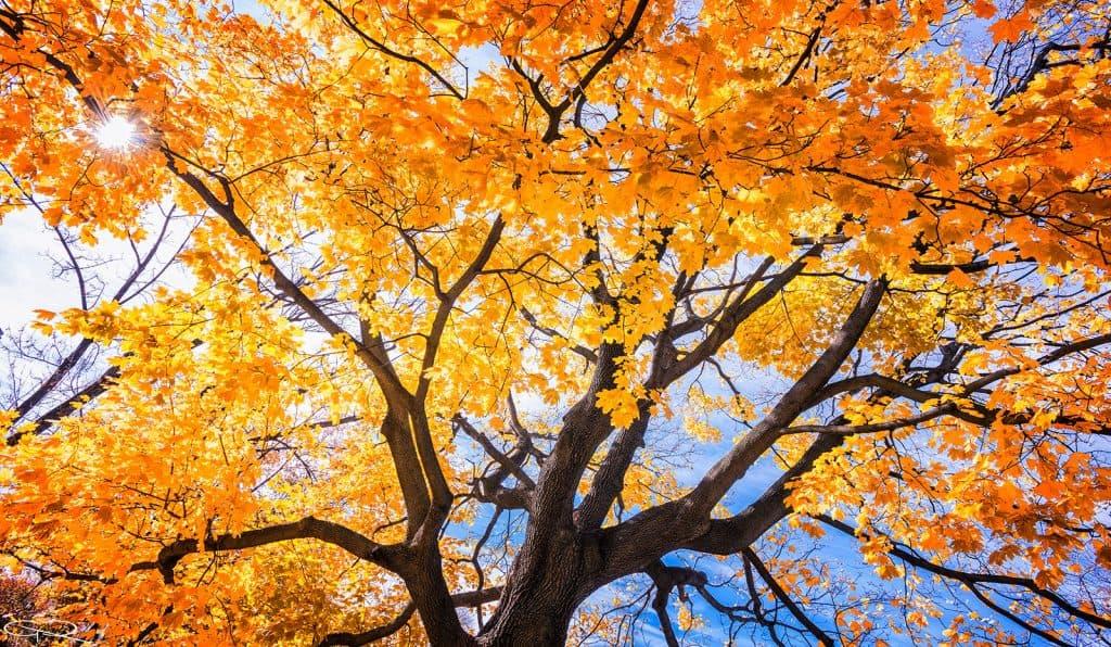 Germán Cuéllar – Árbol otoño